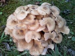myshrooms